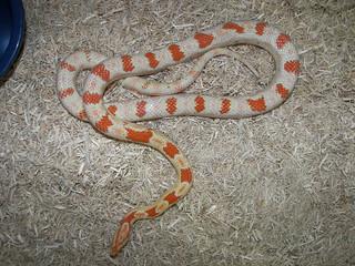 Reverse Okeetee Corn Snake | by snakecollector