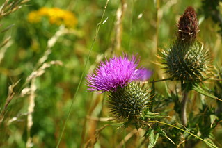 Scottish national flower: The Thistle | by Matthieu Aubry.