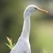 Flickr photo 'Ardea (Bulbucus) ibis (Cattle Egret)' by: Arthur Chapman.