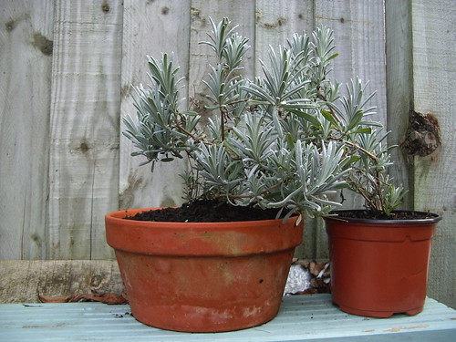 Lavender Cuttings One Year Old | by mrmole
