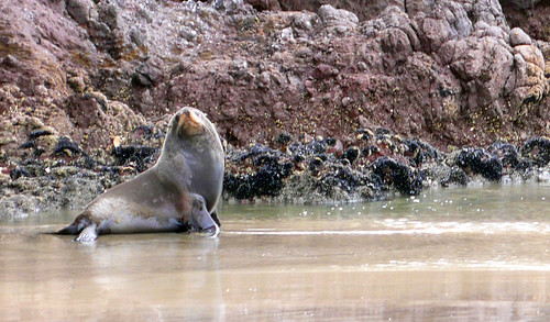 sea lion who chased us, le bons bay | by hopemeng