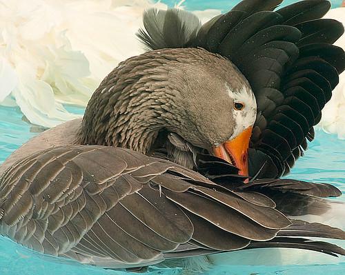 preening goose pilgrim featheryfriday aswpix pilgrimgeese