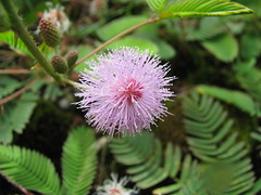 Tropical Mimosa - Sensitive plant