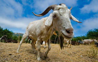 Wide-angle Goat | by Eliya