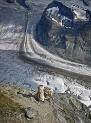 Mountain Goat licking salt  in the Gornergrat (3130m) Zermatt .Canton of Valais, Switzerland. No. 075.