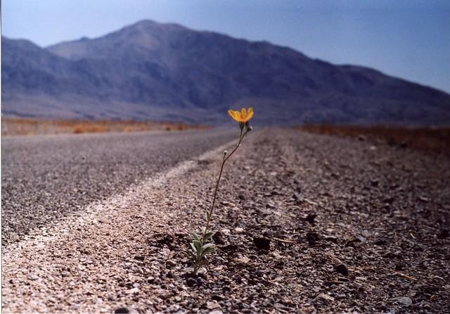 Risultati immagini per fiore nel deserto foto
