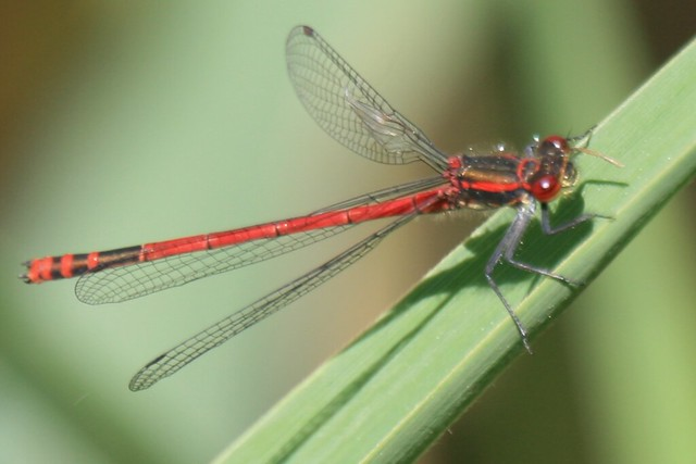 Red Dragonfly...