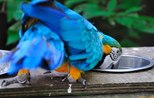 Blue and Gold Macaw 1of4 (20080822-115754-PJG) | by DrgnMastr