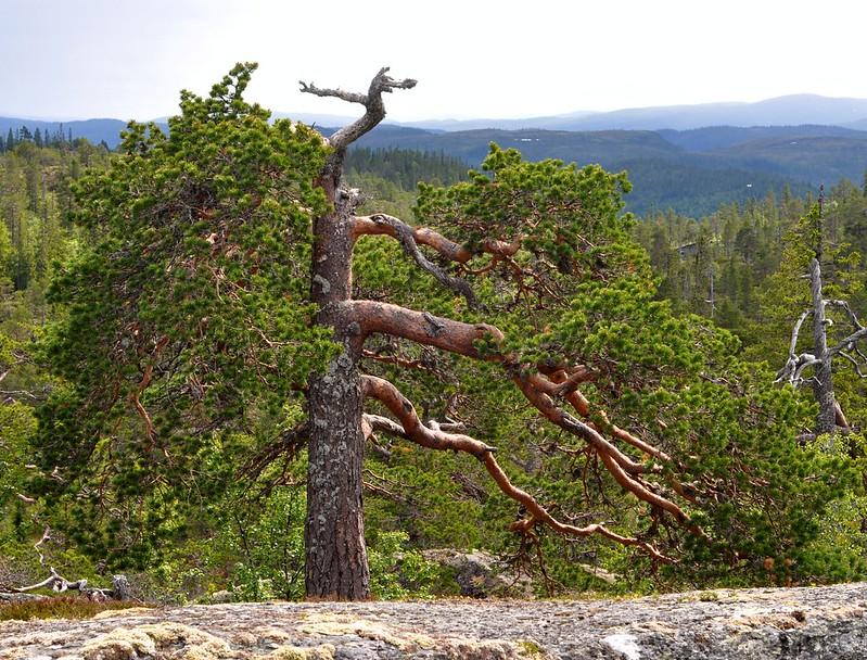 Malerisk furu på Jervfjellet
