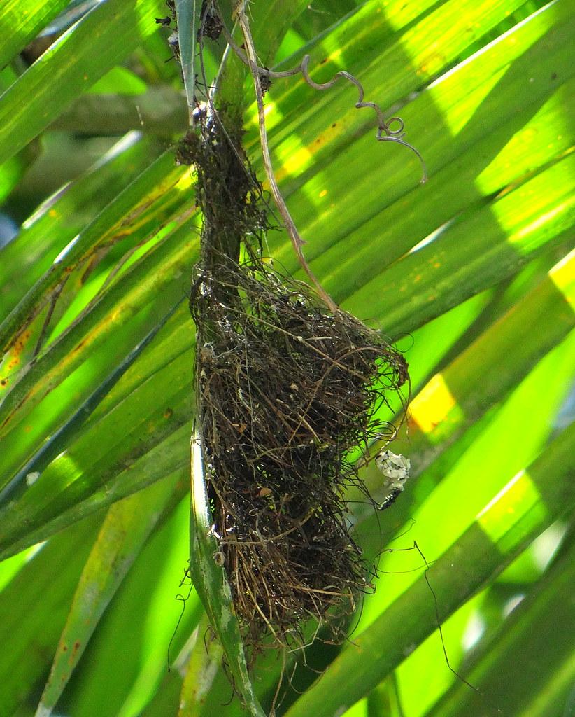 Ermitaño pecho canela [Rufous-breasted Hermit] (Glaucis hirsutus affinis) (Nido [Nest])