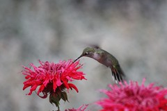 Hummingbird with Bee Balm | by mkear