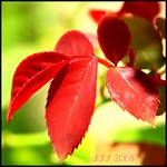 red red leafs