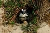 Little (Fairy)Penguin & egg by Black Rock Photo
