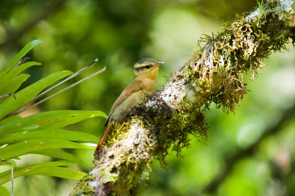 """Ochre-breasted Foliage-gleaner """"Philydor lichtensteini"""" Limpa-folha-ocráceo"""