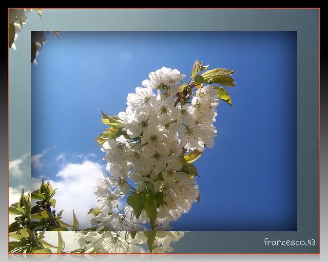 I fiori del mio ciliegio 1
