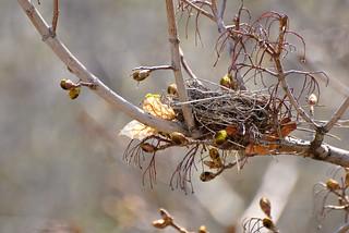 Bird Nest in Maple   by wickenden