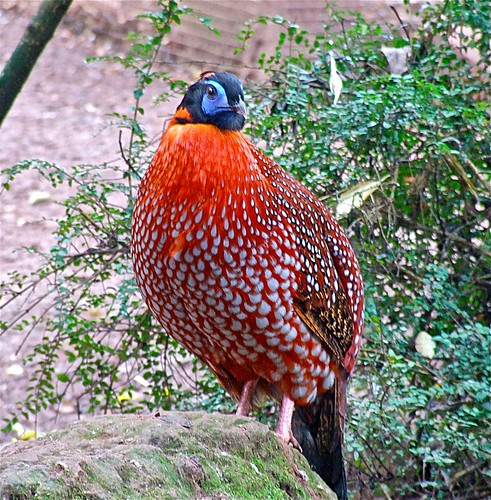 Satyr Tragopan | by P. Stubbs photo