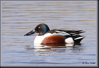 Anas clypeata - Northern Shoveler | by Marc Nollet