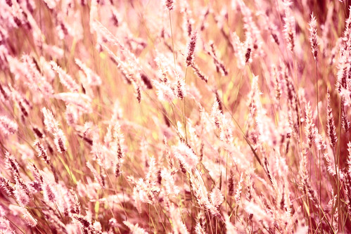 plants postprocessed photoshop bokeh grasses qualityoflight natureycrap adjustedcolour canoneos450d colourpink hppt canonefs55250mmf456is prettypinktuesday 365oneyearon rememberingtoby♥