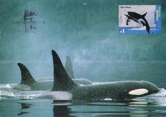 Australia Maxi Killer Whales Postcard