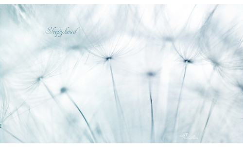 white weed soft fluffy dandelion seeds simplicity delicate sleepyhead thursday fragile blueandwhite 365project callissacaffull