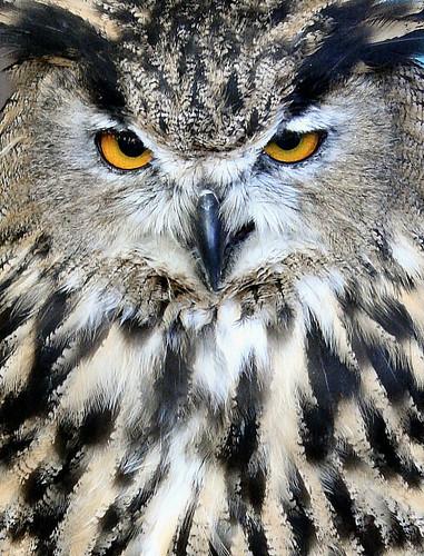 OwlFace2