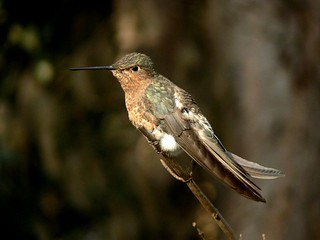 Giant hummingbird / Picaflor gigante | by Tim Abbott
