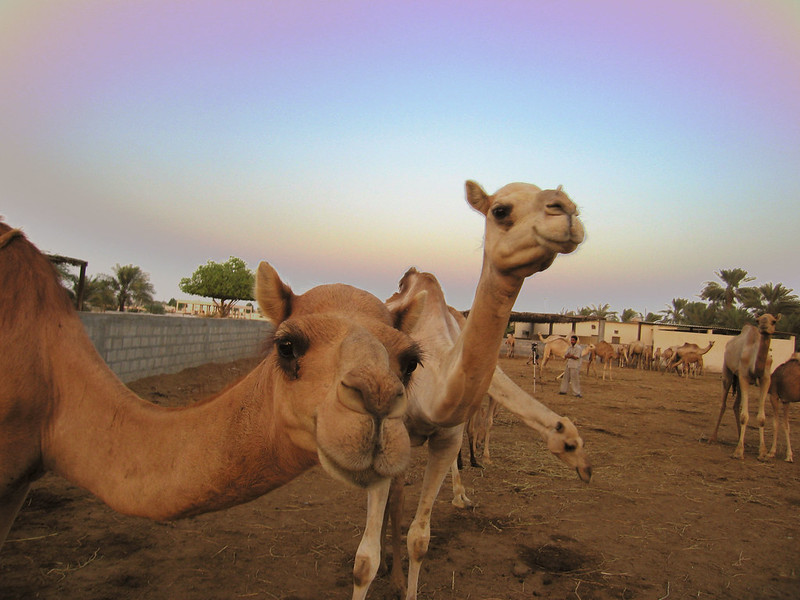 staring camels 2