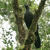 Black Guan (Chamaepetes unicolor) by mountainpath2001