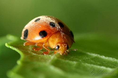Orange Ladybug | by Gerald Yuvallos