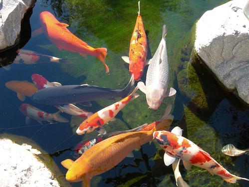 Steroid Koi Fishes