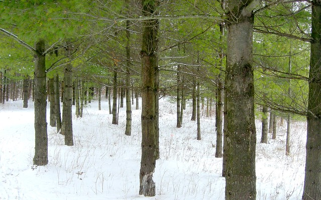 Blackwell Forest Preserve - Pines