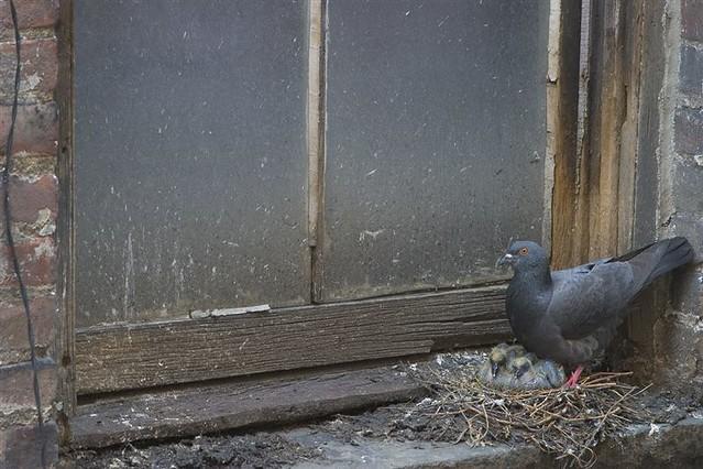 baby pigeons | No longer an urban legend: baby pigeons do ...