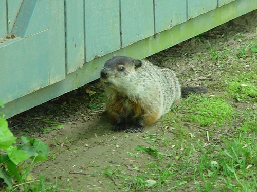 Groundhog's Day   In honor of Groundhog's Day, here is a ...