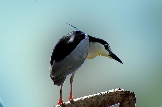 NIght-Heron-Ranganthittu