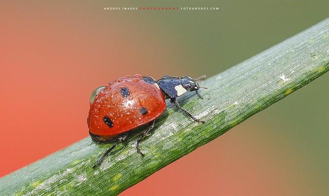 Los coccinélidos (Coccinellidae) -  insectos coleópteros