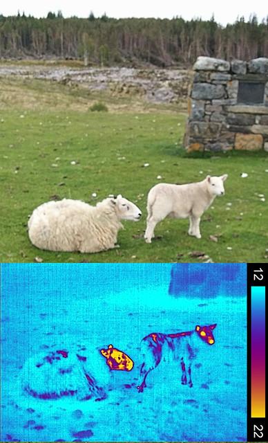Sheep and lamb, thermal and visible