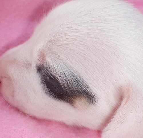 pup#1 almost solid white blue piebald dachshund puppy for