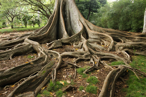 tree scale nature giant bay branch fig roots large fork system foundation ficus growth anchor huge trunk network banyan branching moreton macrophylla