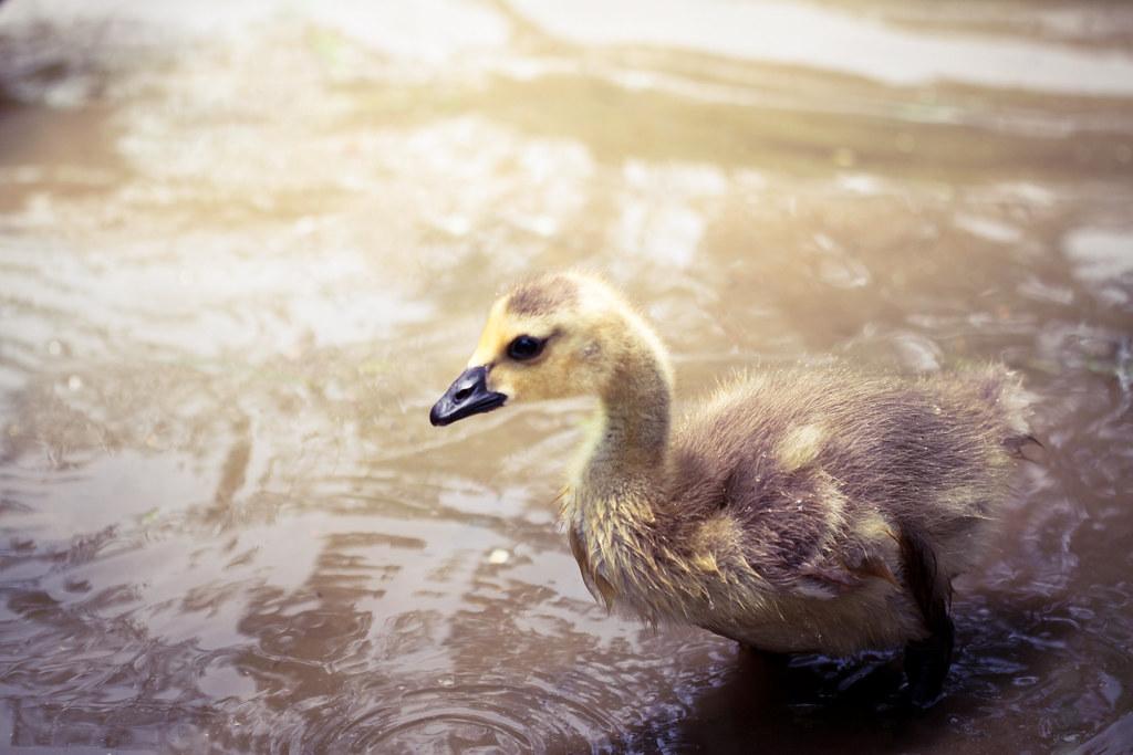 תוצאת תמונה עבור ugly duckling
