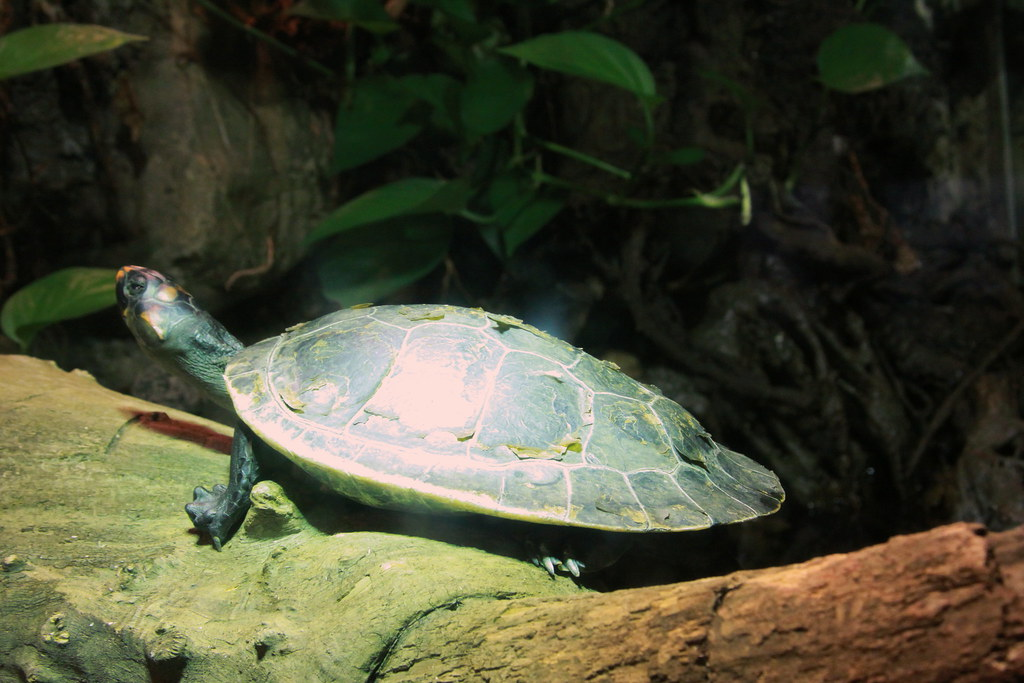 Red Headed Amazon River Turtle The Red Headed Amazon River Flickr