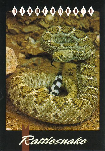 Diamondback Rattlesnake Postcard