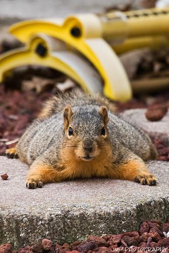 urban cute animal photography rodent furry backyard squirrel michigan wildlife fox jmp foxsquirrel mandj98 jmpphotography jamesmarvinphelps michiganfoxsquirrel riverviewmichigan