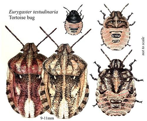 Scutelleridae - Eurygaster testudinaria - Tortoise Bug adult & nymph | by Ashley _Wood
