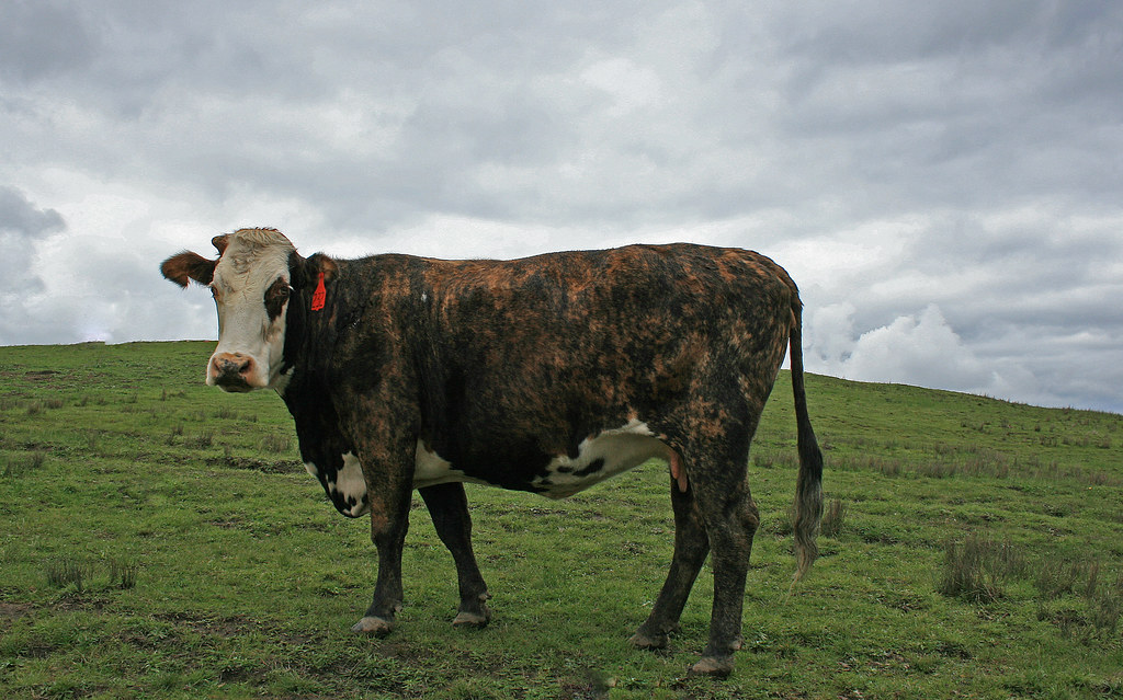 Cow on a Hill - No. 232
