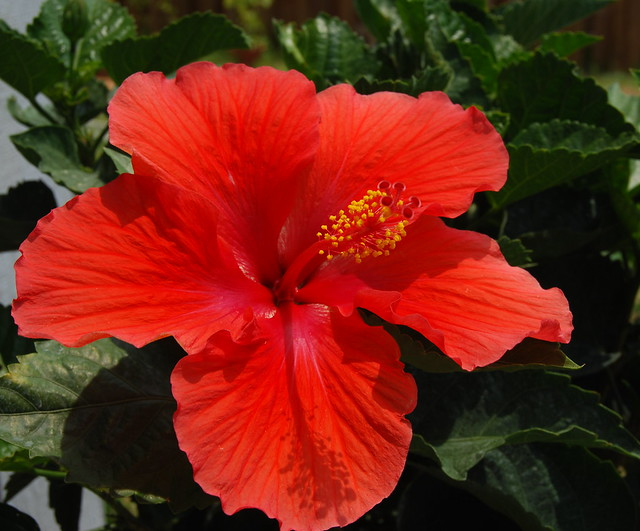 Our hibiscus bloomed!