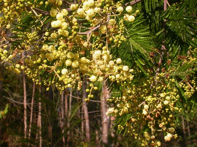 Acacia mearnsii De Wild. (FABACEAE)