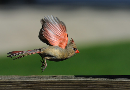 bird nature backyard nikon raw nef avian cardinaliscardinalis northerncardinal nx2 d3s nikkor70200f28vrii nikkortc20eiii