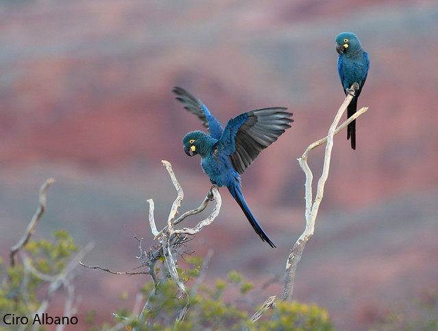 Lear's Macaw_Anodorhynchus leari