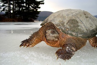 Snapping Turtle on Ice | by Mon@rch